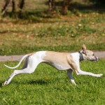 Whippet rennen op het gras in de herfst